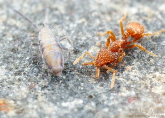 strumigenysspringtail