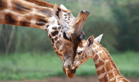 GiraffeGeoffJr