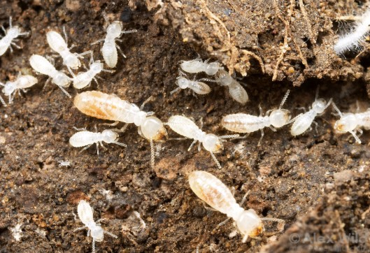 TermitesAreNotAnts