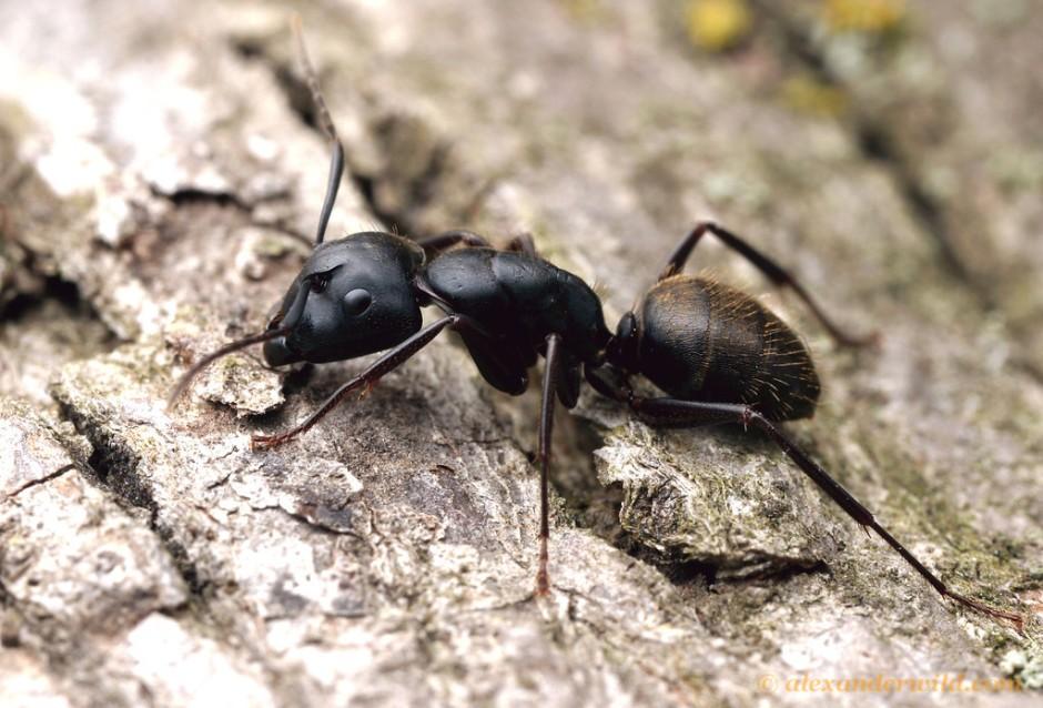 CamponotusPennsylvanicus