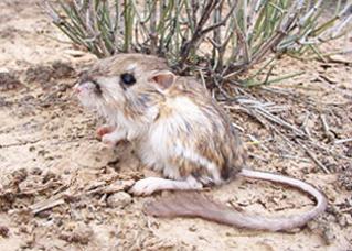Merriam's_kangaroo_rat
